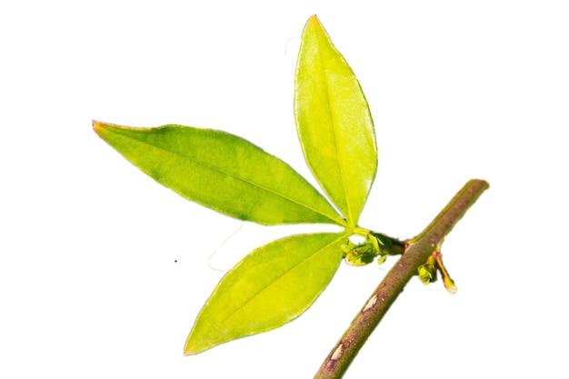 Feuilles de jasmin jaune sur une branche dans le jardin, fond naturel vert, jeunes feuilles vert vif, isolat du début du printemps sur fond blanc
