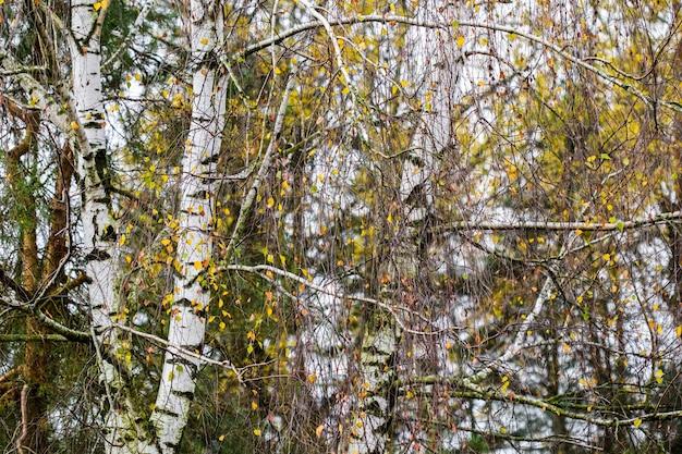 Feuilles jaune vif sur fond d'automne de branches de bouleau