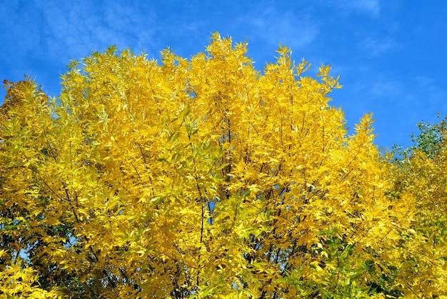 Feuilles jaunes sur les arbres d'automne contre le ciel bleu