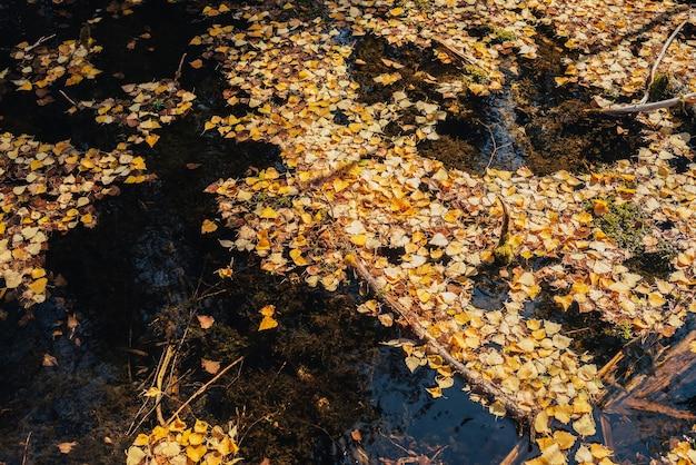 Les feuilles jaunes d'automne flottent dans les eaux stagnantes peu profondes sous un soleil doré. feuilles d'automne jaunes à la surface de l'eau au soleil doré. fond de belle nature ensoleillée avec des feuilles tombées dans l'eau. toile de fond d'automne