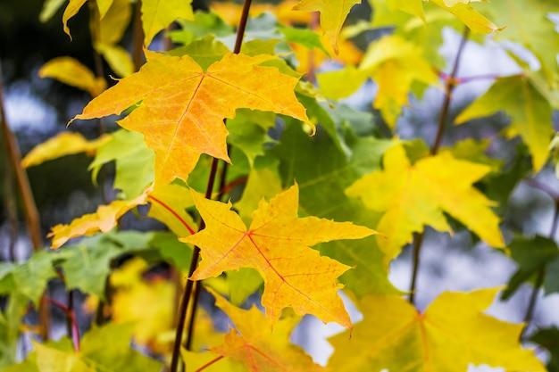 Feuilles jaunes sur les branches de l'érable dans la forêt d'automne