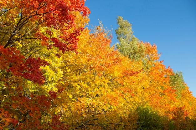 Les feuilles jaunes des érables