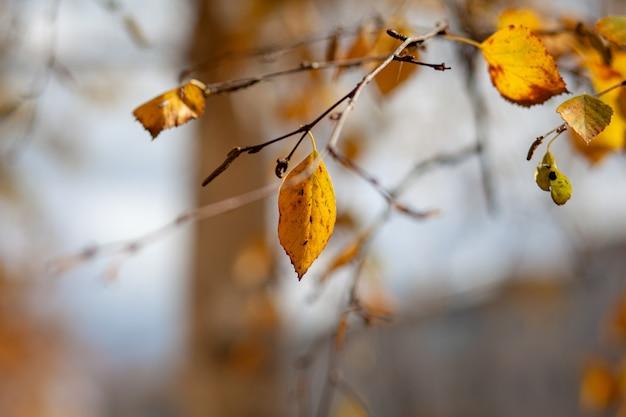 Feuilles jaunes ou sèches sur les branches des arbres en automne. feuilles de bouleau, tilleul et autres arbres sur les branches. il y a un espace vide pour le texte