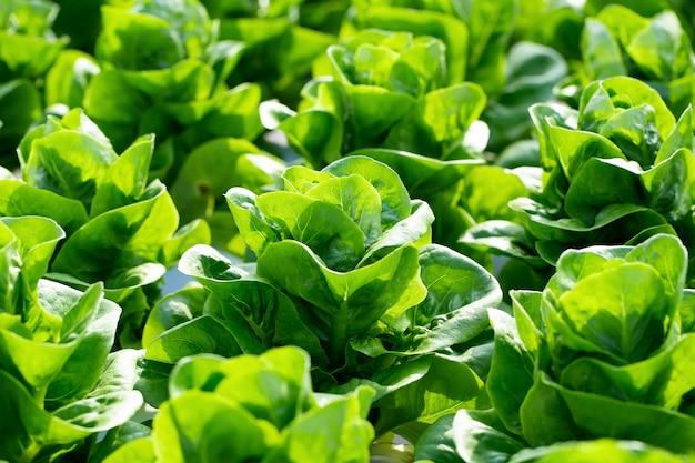 Feuilles de laitue butterhead fraîches, ferme hydroponique de légumes de salades