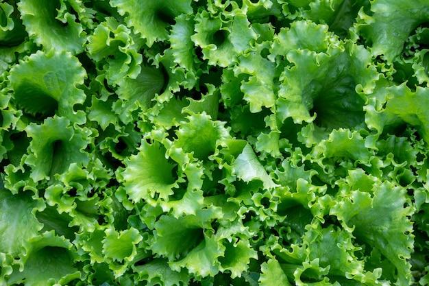 Feuilles de laitue fraîche verte bouchent vue de dessus