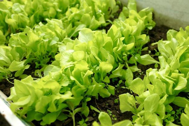 Les feuilles de laitue verte poussent sur le lit de jardin. concept de récolte. flou et mise au point sélective