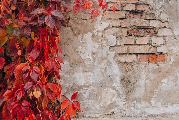 Feuilles de lierre rouge sur le mur