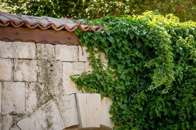 Feuilles de lierre sur le vieux mur de pierre avec toit de tuiles rouges