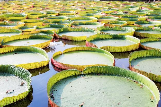 Feuilles de lotus avec fond.