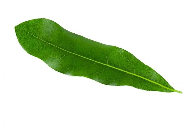 Feuilles de macadamia vertes isolés sur fond blanc