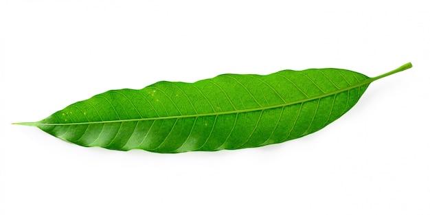 Feuilles de mangue verte isolées