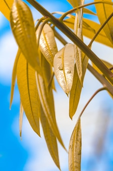 Feuilles de manguier en macrophotographie