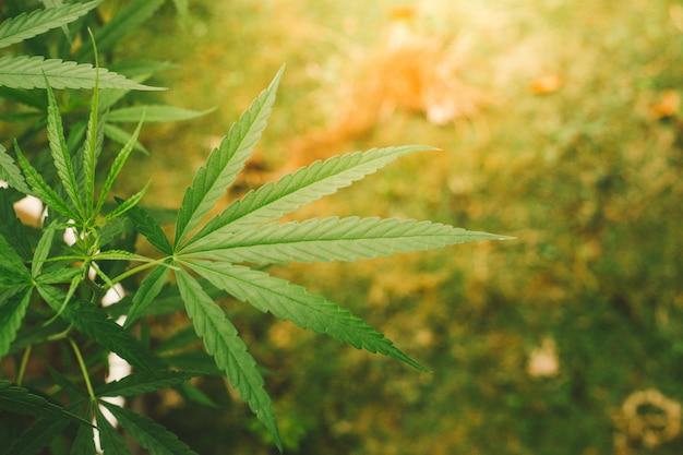 Feuilles de marijuana.gros plan de feuilles de cannabis dans le jardin