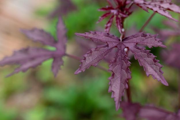 Feuilles de marijuana violettes sur le marijuana