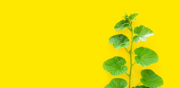 Feuilles de melon sur une surface jaune