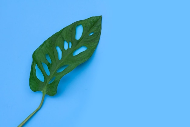 Feuilles de monstera adansonii ou plante d'intérieur de vigne de fromage suisse sur mur bleu.