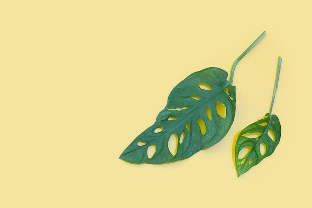 Feuilles de monstera adansonii ou plante d'intérieur de vigne de fromage suisse sur mur jaune.