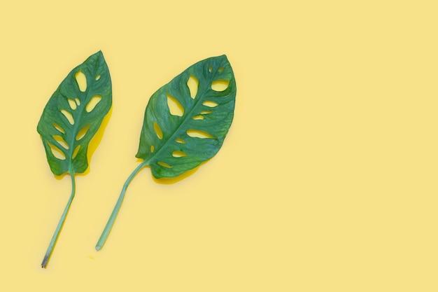 Feuilles de monstera adansonii ou plante de vigne de fromage suisse sur une surface jaune.