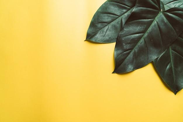 Feuilles de monstera sur fond jaune