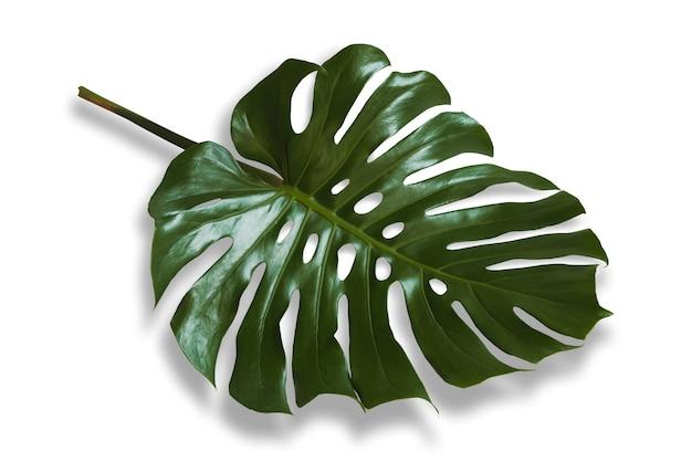 Les feuilles de monstera vert vif reposent sur un fond blanc avec des ombres noires