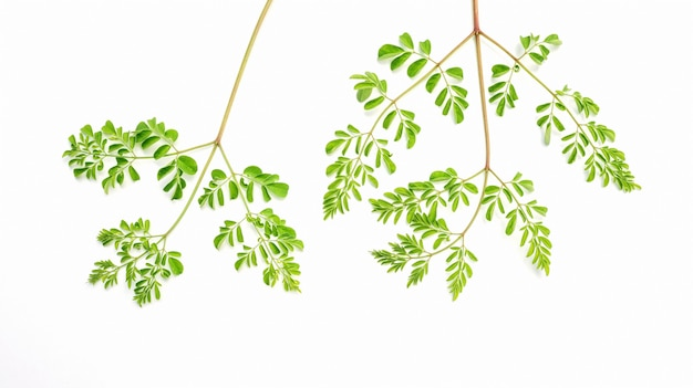 Feuilles de moringa (herbes thaïlandaises) sur un fond blanc.