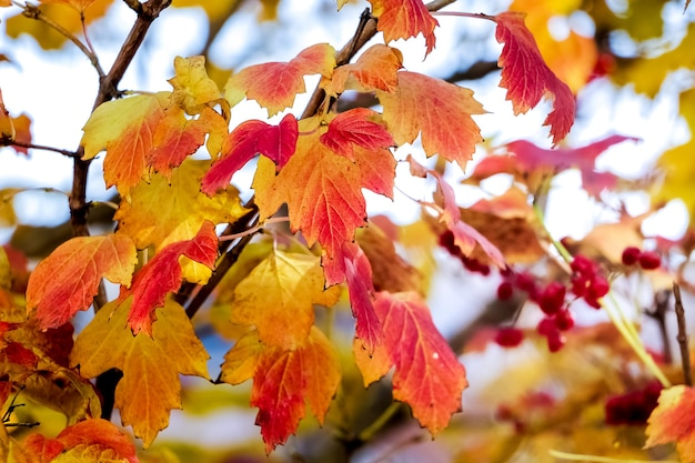 Feuilles multicolores jaunes et rouges de guelder rose en automne sur une lumière