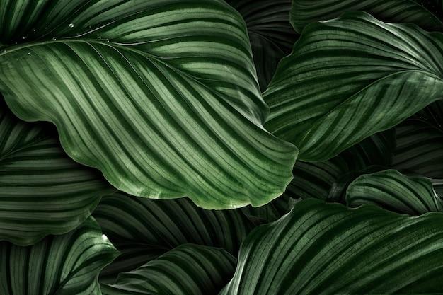 Feuilles naturelles vertes de calathea orbifolia