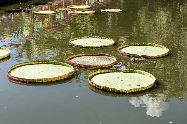 Feuilles de nénuphars à la surface de l'eau