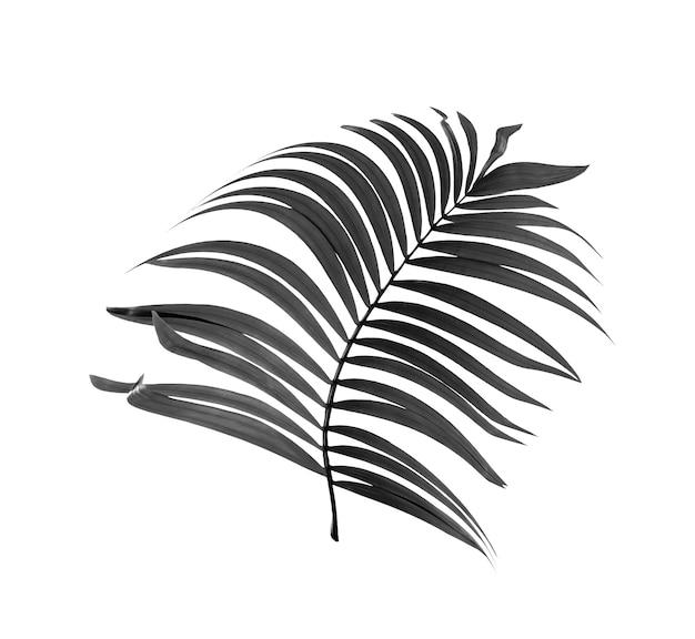 Feuilles noires de palmier isolé sur fond blanc