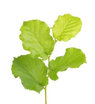 Feuilles de noisette verte isolées sur fond blanc. feuille de noisetier vert frais.