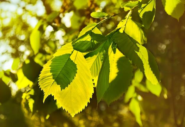 Les feuilles d'orme dans un beau rétro-éclairé