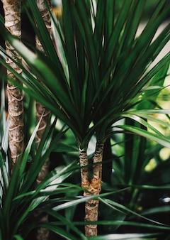 Feuilles de palmier exotique, gros plan de la nature verte