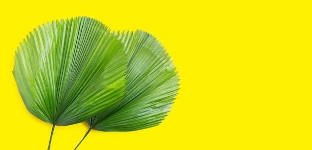 Feuilles de palmier fan de fidji sur fond jaune