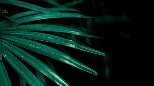 Feuilles de palmier tropical dans le jardin