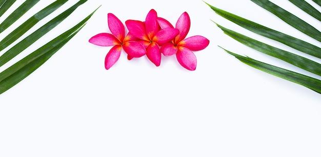 Feuilles de palmier tropical avec fleur de frangipanier rose sur surface blanche