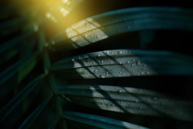 Feuilles de palmier tropical avec des gouttes d'eau au matin avec une ombre de fond sombre