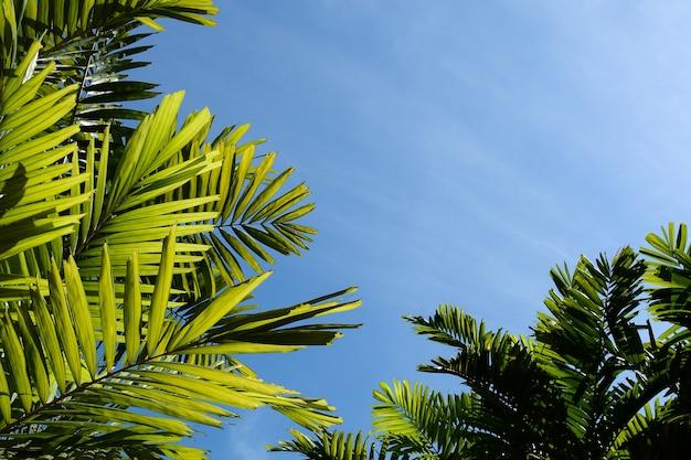 Feuilles de palmier vert et ciel bleu dans la forêt