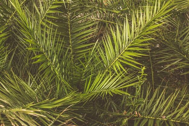 Feuilles de palmier vert du sud de l'europe