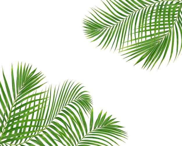 Feuilles de palmier vert sur fond blanc