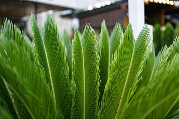 Feuilles de palmier vertes