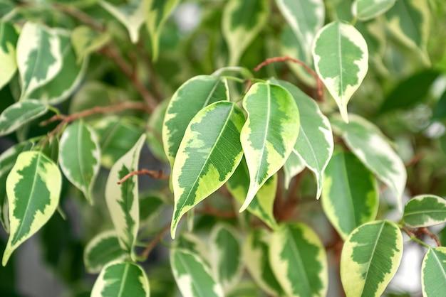 Feuilles panachées de ficus benjamina plante accueil jardinage plante d'intérieur verdure
