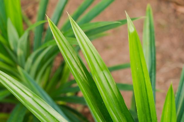 Feuilles de pandan vertes, herbes thaïlandaises
