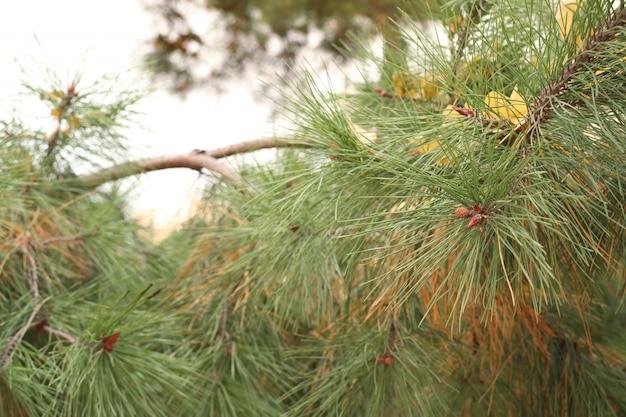 Feuilles de pin au printemps corée