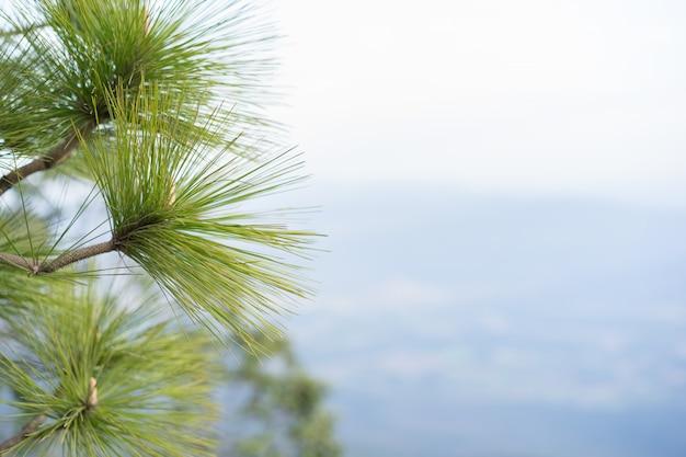 Feuilles de pin vert. fond de la nature.