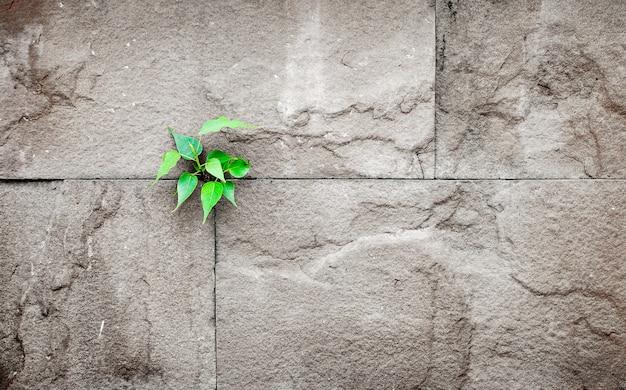 Feuilles de pipal qui poussent à travers la fissure dans le vieux mur de pierre de sable, concept de survie