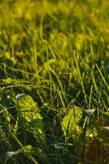 Feuilles de pissenlit en gros plan, mise au point sélective. prairie dans les rayons du soleil couchant, fond naturel naturel. le concept de liberté et de légèreté.