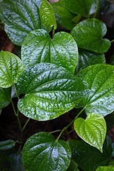 Feuilles de plantes de bétal sauvage vert frais