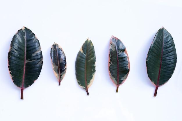 Les feuilles des plantes en caoutchouc sur un mur blanc.