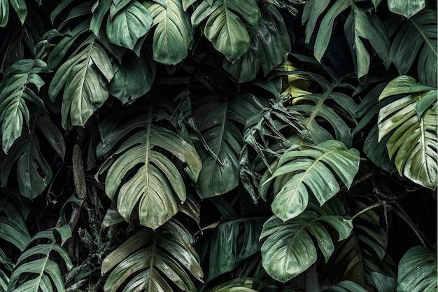 Feuilles de plantes de monstera deliciosa dans un jardin