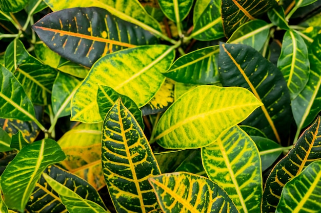 Feuilles de plantes ornementales comme arrière-plan naturel. feuilles colorées de plantes croton. plante d'accueil croton dans un pot. codiaeum variegatum. feuilles rayées.